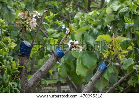 Fruit tree twigs grafted on tree stock photo 470995316 shutterstock - Graft plum tree tips ...