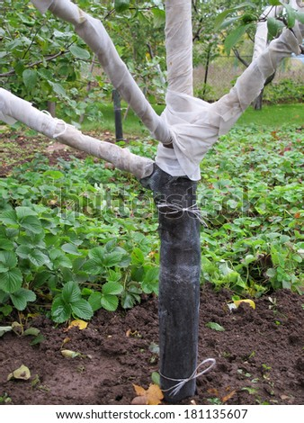 Fruit tree wound by spunbond round against rodents in the autumn garden