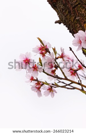 Fruit trees blooming in spring - stock photo