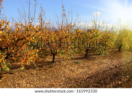 fruit trees in autumn garden at sunny weather - stock photo