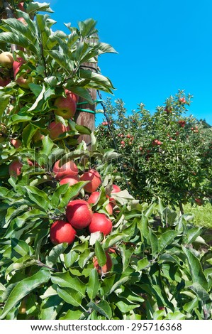 Fruit trees with ripe red apples in plantation on sunny summer day - stock photo