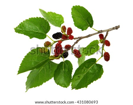 Fruit twig of Morus nigra, called black mulberry or blackberry
