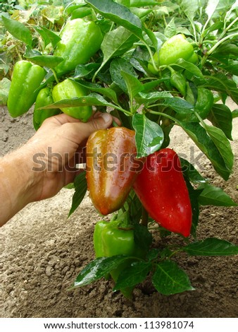 fruitful pepper plant with red and green fruits - stock photo