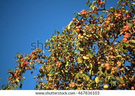 Fruits apple tree in summer time.