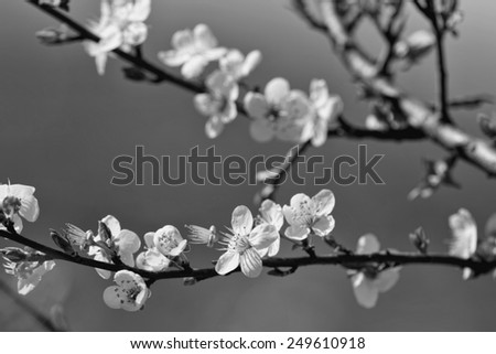fruits blossom, black and white   - stock photo