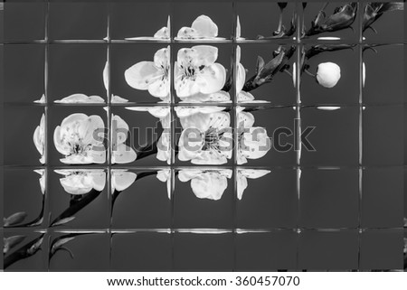 fruits blossom, spring through window panes, black and white