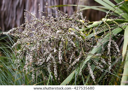 fruits from the cabbage tree or ti tree from the palm tree family found in New Zealand wetlands. - stock photo