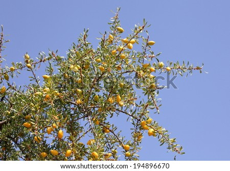 Fruits of Argan tree  (Argania spinosa) on the branch - stock photo