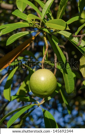 Fruits of cerbera odollam tree in Thailand