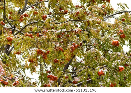 fruits of mountain ash on the branches, winter