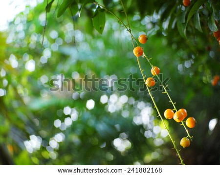 fruits, seeds of light blue purple flower small plant, Sky flower, Golden dew drop, Pigeon berry, Duranta, tropical decorative plants with beautiful flower and small golden yellow fruits in THAILAND - stock photo
