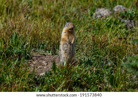 Frustrated prairie dog in Hidden Lake Trail, Glacier National Pa