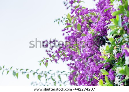 fuchsia and purple bracts of bougainvillea glabra
