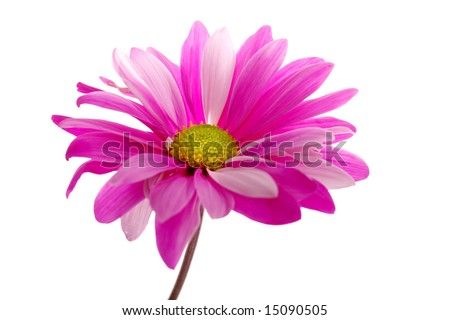 Fuchsia color daisy on white background