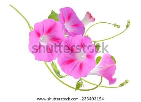 Fuchsia Colored Morning Glory Flowers Isolated on White Background. - stock photo