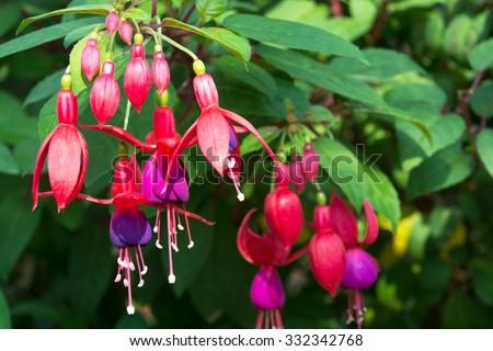 Fuchsia flowers - stock photo