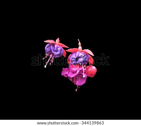 Fuchsia flowers in pink and purple with pistils and petals isolated on black.