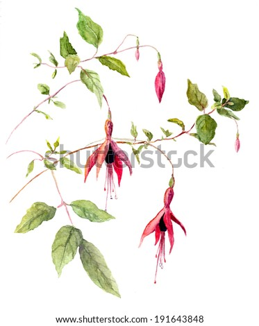 Fuchsia pink flower - watercolor painted picture - stock photo