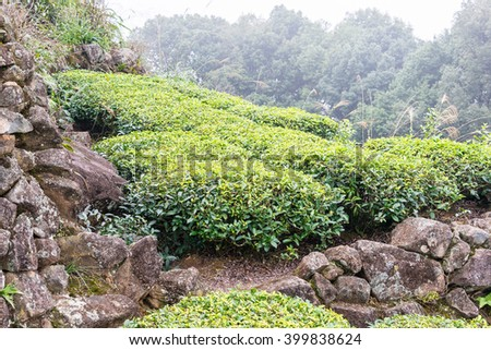 FUJIAN, CHINA - Dec 24 2015: Tea plantation in Xiping Town. a famous historic site in Xiping, Anxi, Fujian, China.