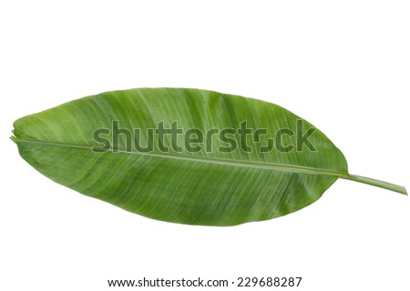 Full banana leaf isolated with clipping path