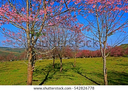 Full Bloom Cheery Blossom or Sakura Branches and blue sky background