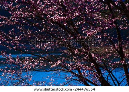 Full bloom of peach flowers - stock photo