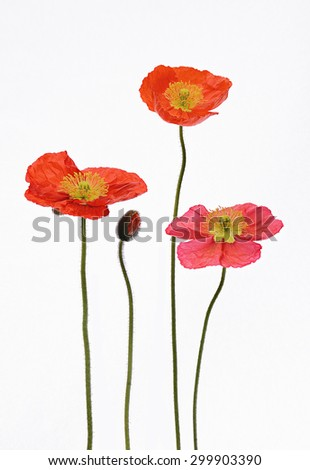 Full bloom red pink and orange Poppy Flowers and young a bud Isolated on white background, studio shot, large Depth of Field