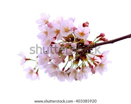 Full bloom sakura flower isolated (Cherry blossom) - stock photo
