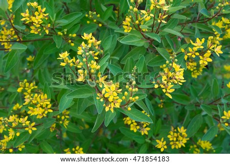 Full bloom yellow shower gold flowers stock photo royalty free full bloom yellow shower of gold flowers in an outdoor garden of a house evening mightylinksfo