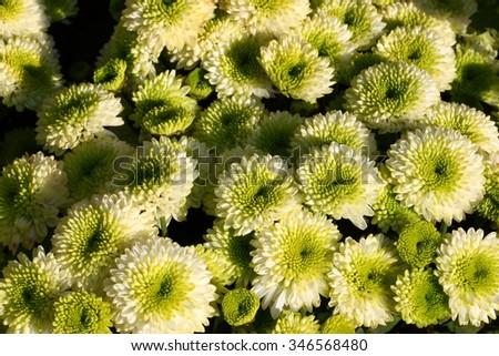 Full blooming Chrysanthemum flowers in the garden/Chrysanthemum flowers,    - stock photo