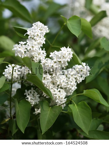 Full-blown white lilac in the garden, some flowers in focus, some are not - stock photo