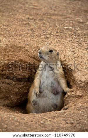Full body closeup of fat mother prairie dog standing in burrow