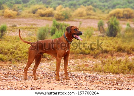 Full body of a purebred African wet Rhodesian Ridgeback male dog with alert facial expression standing in the rain in the Klein Karoo semi-desert in South Africa (focus on dog). - stock photo