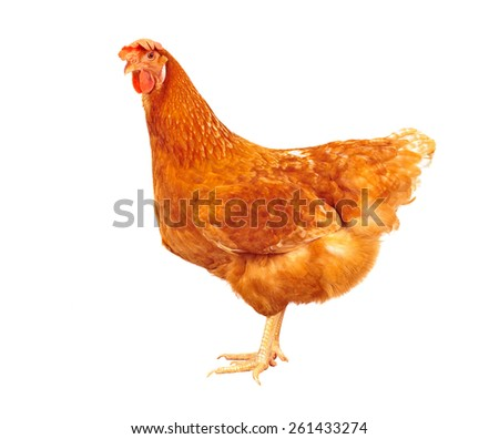 full body of brown chicken hen standing isolated white background use for farm animals and livestock theme - stock photo