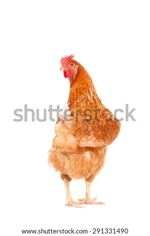 full body of brown chicken hen standing isolated white background use for farm animals , livestock and lovely pets theme - stock photo