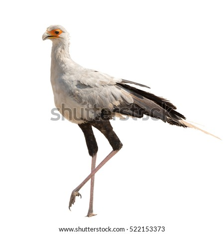 Full Body Portrait of a Secretary Bird isolated on white. Seen and shot in namibia, africa.
