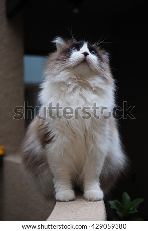 Full Body Portrait of Regal Long Hair Bi Color Brown White Ragdoll Cat with Blue Eyes and Black Button Nose and Long Whiskers Sitting on Ledge Looking Up - stock photo