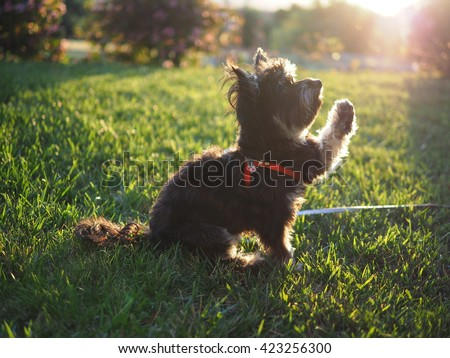 Full Body portrait of small Adorable Yorkshire Terrier Toy Breed Dog Sitting in Grass During Golden Hour Light with Paw Raised - stock photo