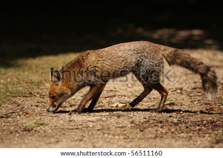 Full body shot of a red fox with a natural looking background. This is a wild urban fox sniffing the ground in a London Park. - stock photo
