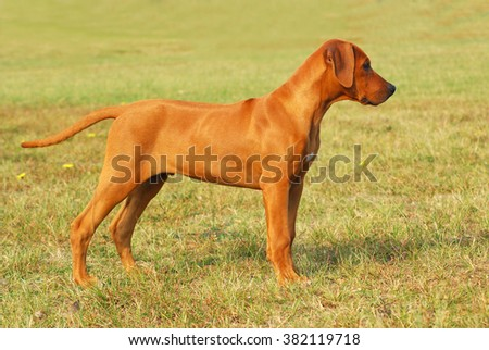 Full body side view of a purebred South African young Rhodesian Ridgeback puppy standing with alert facial expression in front of green grass blurry background.