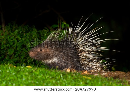 Full body side view of Nocturnal animals Malayan porcupine(Hystrix brachyura) in nature at Kaengkrajarn national park,Thailand - stock photo