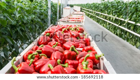 Full carts with just harvested red peppers in the corridor of a Dutch pepper nursery. - stock photo