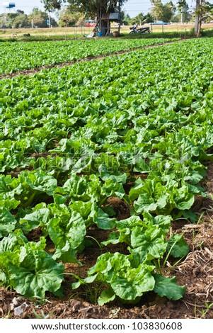 Full frame background of fresh Chinese cabbage farmland - stock photo