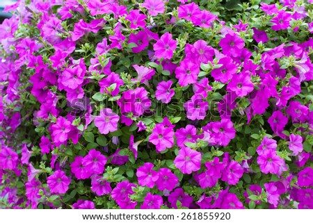 Full frame dense background display of bright pink or magenta petunias flowering in spring outdoors in a garden - stock photo