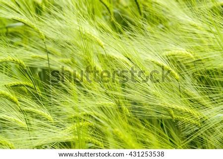 full frame green barley field detail at springtime - stock photo