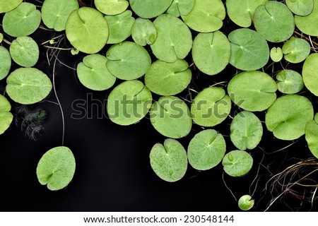 Full frame image of green water lily pads. - stock photo