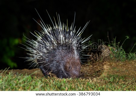Full frame of close up of front side nocturnal animals Malayan porcupine(Hystrix brachyura) in real nature at Kaengkracharn national park,Thailand - stock photo