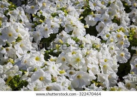 Full frame white petunia floral background. - stock photo