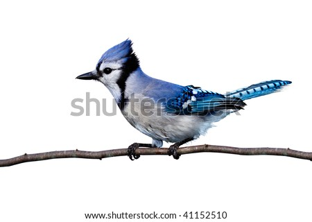 full horizontal view of bluejay perched on a branch. white background - stock photo