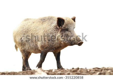 full length isolated walking wild boar ( Sus scrofa ), isolation over white background